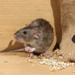 The Game of Cat and Mouse: Sure Signs You Have a Rat Infestation on Your Property