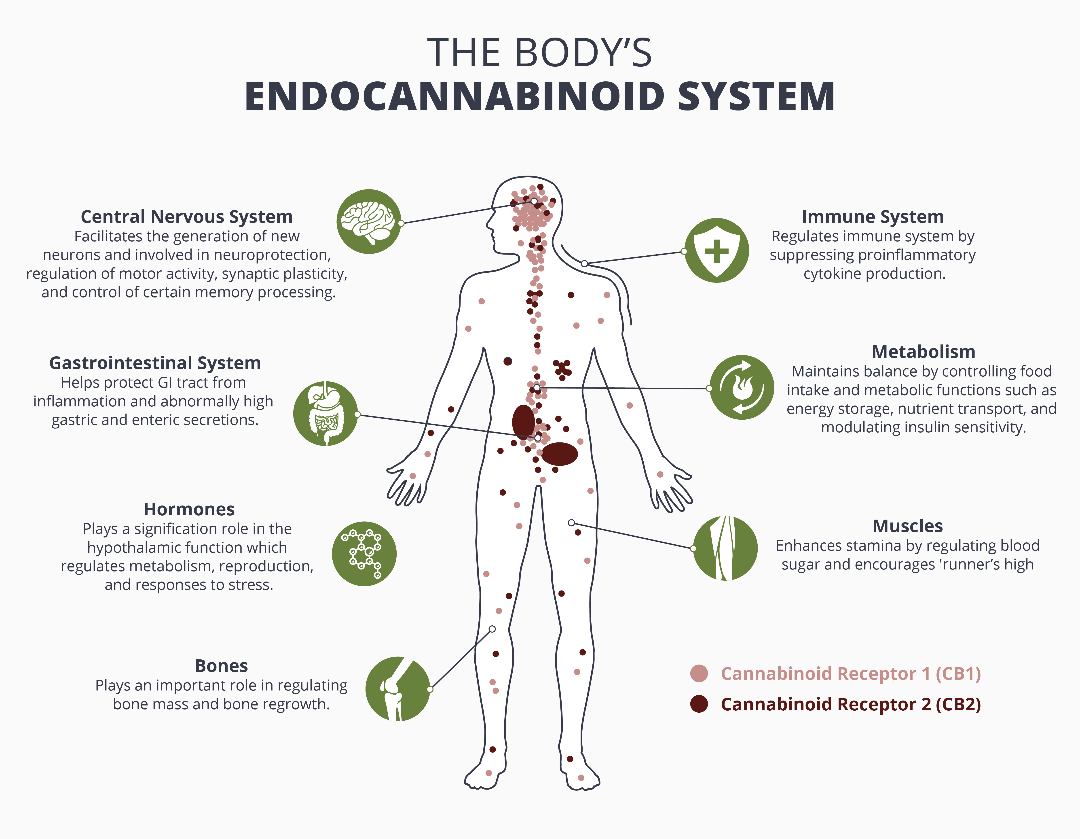 The Body's Endocannabinoid System Infographic