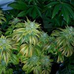 Everything You Need to Know About Purple Kush Marijuana Strain