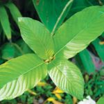 What is Maeng Da Kratom, and What is it Used For?
