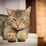 How Safe is Organic CBD Oil for Cats?