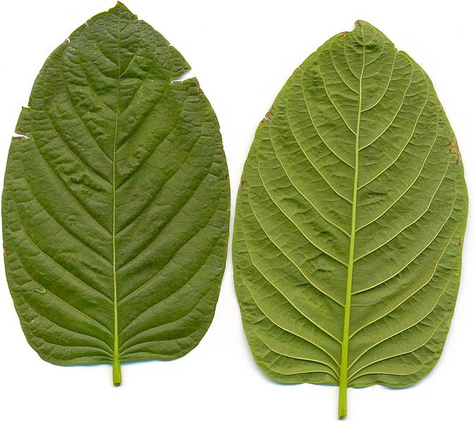Kratom Extract Tips